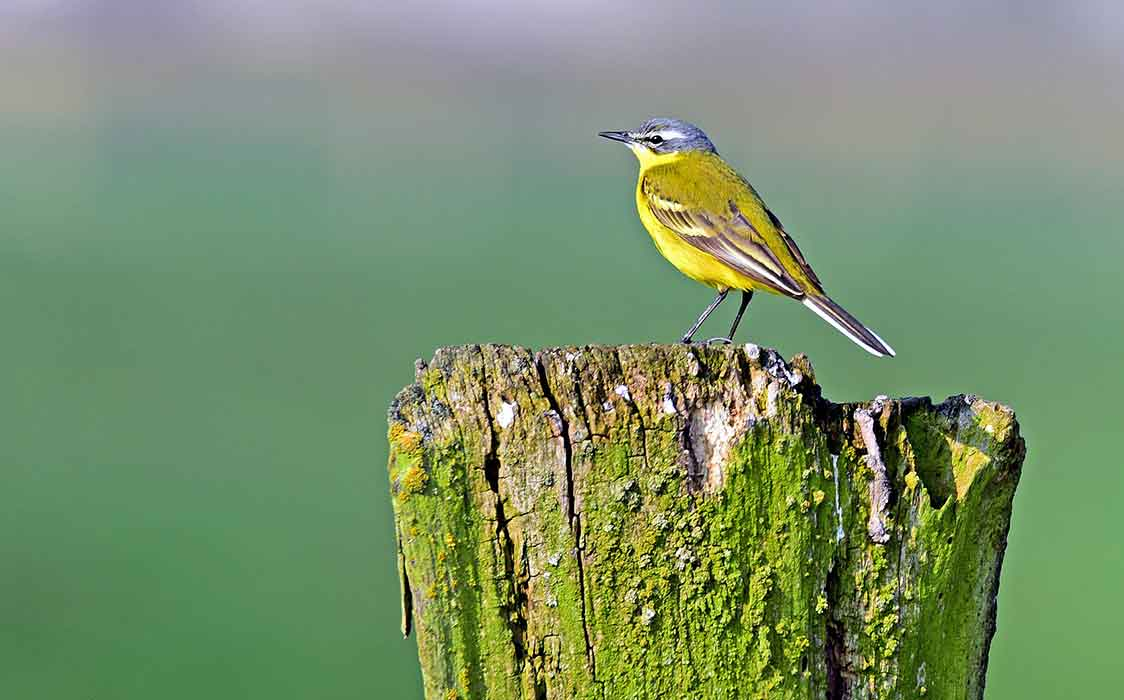 Lifestyle of Yellow Wagtail